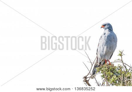 A Southern Pale Chanting Goshawk Melierax canorus looking over its shoulder. Isolated on white