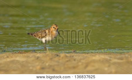Dunlin (Calidris alpina)  searching for food near water