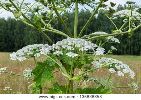 cow parsnip blooms on a meadow in summer
