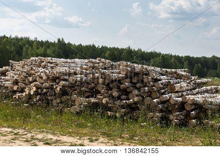 white birch tree logs heap, forest tree diversity