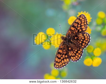 Heath Fritillary Butterfly On Yellow Flowers
