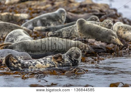 Group Atlantic Grey Seal