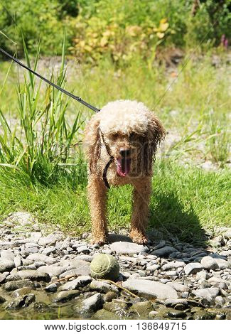 cute beige poodle standing next to its ball