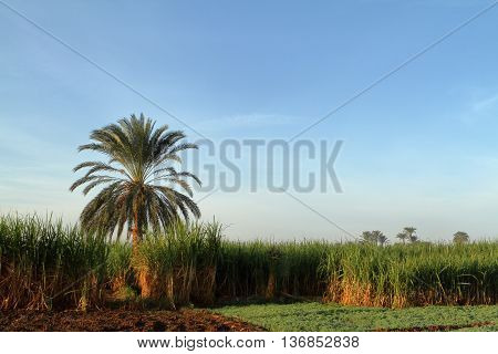 A Field of Sugarcane Plantation in Egypt