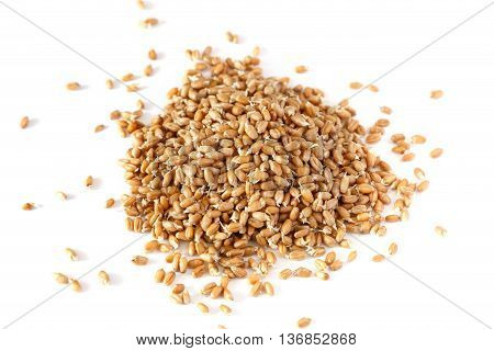 grains of germinated wheat on a white background