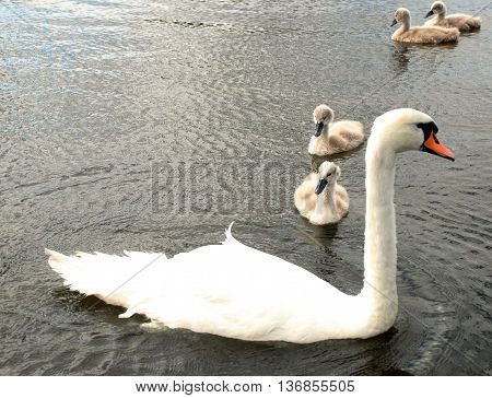 family of white swans in the water swimming