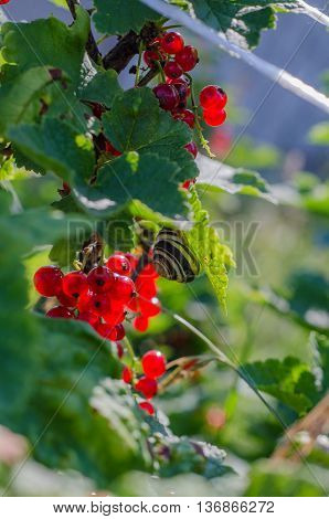 redcurrants with leaves on branch in the garden