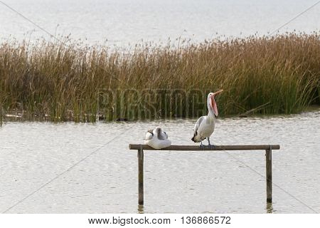 Australian Pelican water bird perching on wooden pole yawning with bill widely opened, Lake Albert, Meningie, South Australia