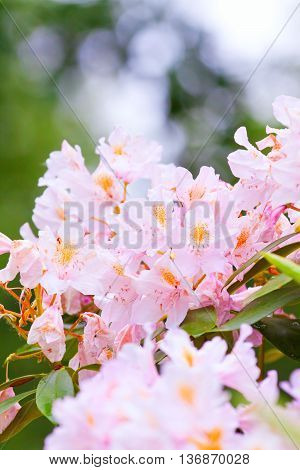 Pink Rhododendrons In Bloom