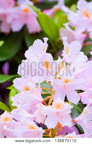 Branch Of Blooming Pink Rhododendron