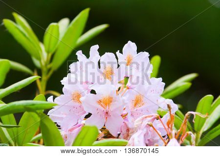 Pink Buds Of Rhododendrons