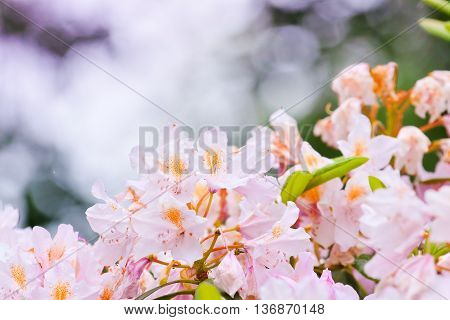 Delicate Pink Buds Of Rhododendron
