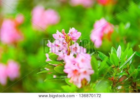Blooming Rhododendron Bush, Bright Summer Day