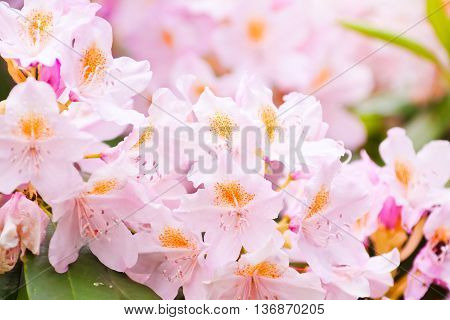 Natural Background Of Pink Rhododendron Flowers