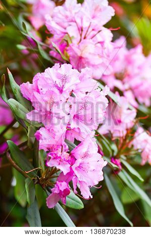 Purple Rhododendrons In Bloom