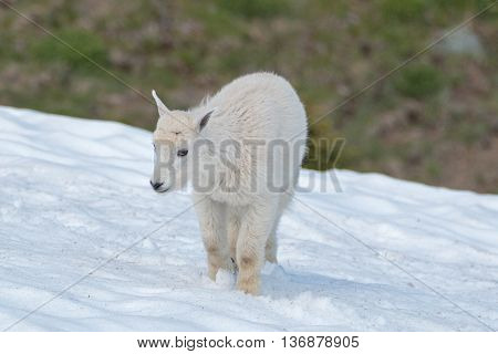 Baby Kid Mountain Goat on Hurricane Hill snowfield in Olympic National Park Washington State USA