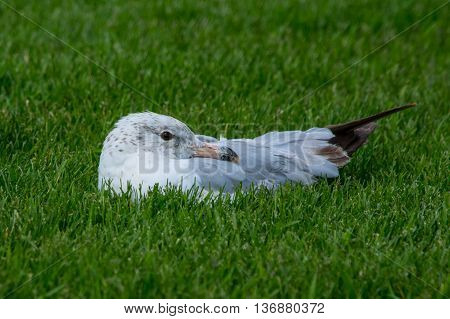 Ring-billed Seagull in green grass on a sunny summer day