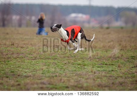 Coursing, Passion And Speed. Greyhound Dogs Running