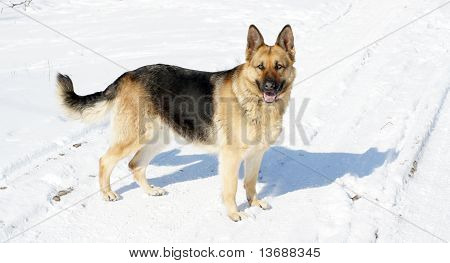 The big dog on snow