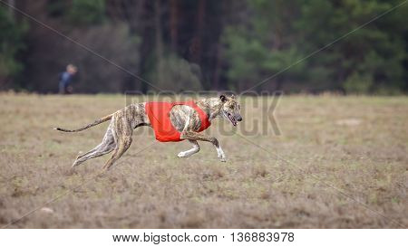 Coursing, Passion And Speed. Dog Greyhound Running