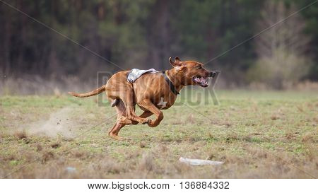 Coursing, Passion And Speed. Rhodesian Ridgebacks Dog Run