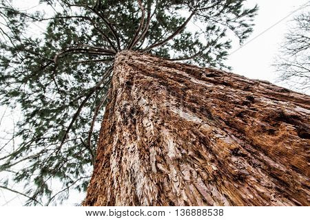 Sequoiadendron giganteum - Giant sequoia - is the sole living species in the genus Sequoiadendron and one of three species of coniferous trees known as redwoods. Natural scene. Botany theme.