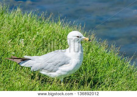 Ring-billed seagull standing in green grass next to a pond on a sunny summer day.