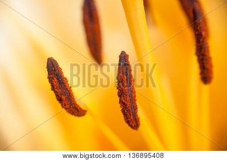 Stamens Yellow Lily Closeup