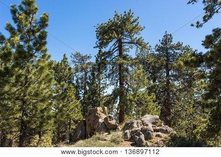 Pine In Boulder Cluster
