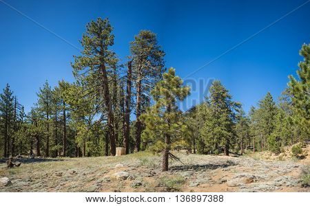 Pine In Mountain Meadow