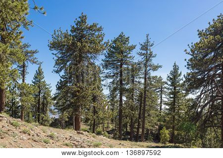 Hillside Pine Trees
