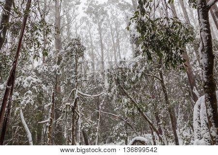 Snow Covered Eucalyptus Trees In Australia