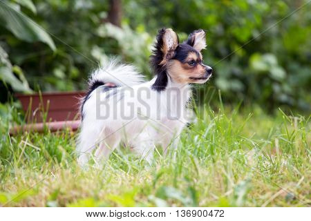 Portrait of a four month-old puppy of the Continental Toy spaniel - Papillon