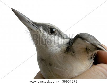 Sitta europaea Linnaeus. A bird in the hand on a white background. Clipping.