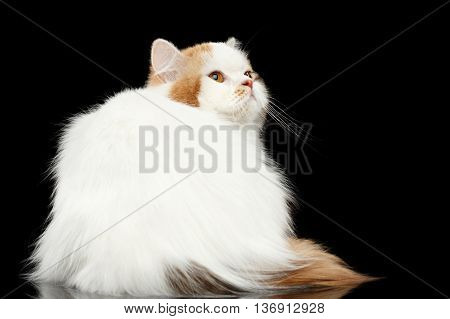 Mad Scottish Highland Straight Cat, White with Red Color of Fur, Sitting and Angry Looking up, Isolated Black Background, Back view, Grumpy Face