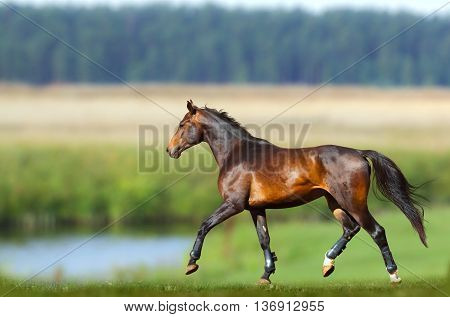 Young purebred bay horse training in summer