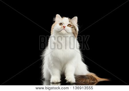 Portrait of Scottish Highland Straight Cat, White with Red Color of Fur, Sitting and Curious Looking up, Isolated Black Background, Front view