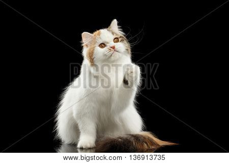 Playful Scottish Highland Straight Cat, White with Red Color of Fur, Sitting and Raising up paw, Isolated Black Background, Front view