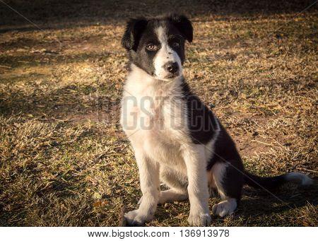 Twelve week old Border Colly puppy sitting on grass