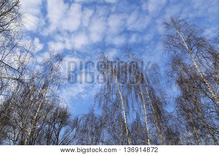 Tops of winter birches against a blue sky with white clouds