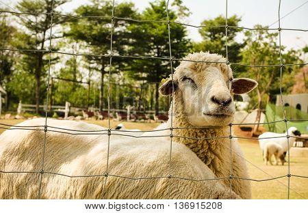 Big Sheep furry fleece so cute .