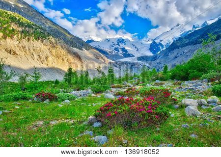 Rhododendrons In The Swiss Alps In The Green Beneath Glaciers