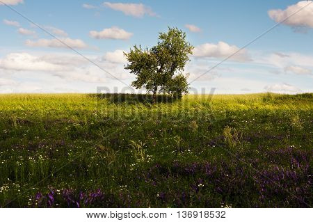 Lonely green tree in the field. Landscape in a rustic style in Waldviertel Austria. A view of the horizon at sunset. Cloudy sky over the field.