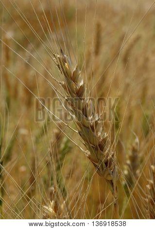 Ripe wheat spike macro shot stock photo