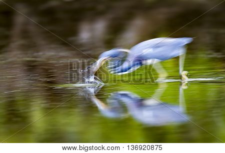 Tricolored Heron strikes at fish in shallows