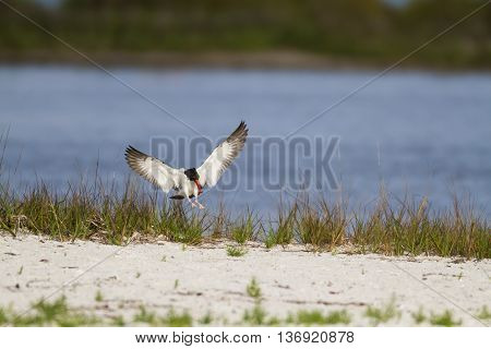 American Oystercatcher flares wings for beach landing