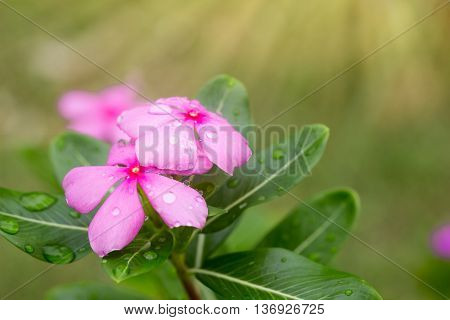 Pink vinca flower nature with light flare.