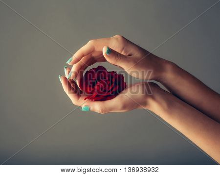 female hands with tender skin and blue manicure holding rose flower with soft petals red color on grey background