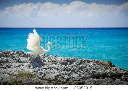 White heron bird at the sea in Cozumel Mexico