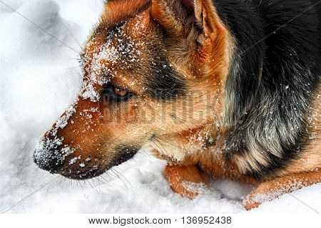 young German Shepherd playing in the snow